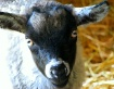 Goat in Dry Brush