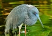 Tricolored Heron ...