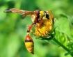 Wasp In Flower