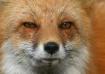 Fox Up-Close
