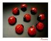 Ladybugs VI