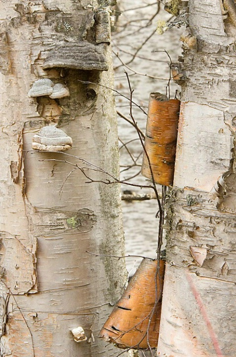 Birch Bark - ID: 3596945 © Larry J. Citra
