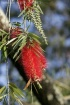 Red Blossom