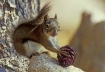 Red Squirrel With...
