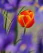Tulip Among the I...