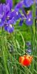 Irises & Tulip 02