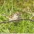 2Brewer's Sparrow in Redmond - 1 - ID: 3669546 © John Tubbs