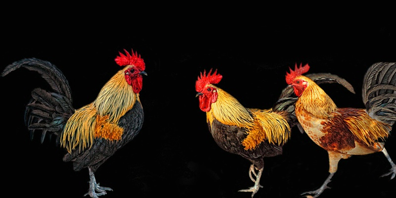 Roosters of Key West
