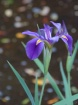 Purple Beauty II
