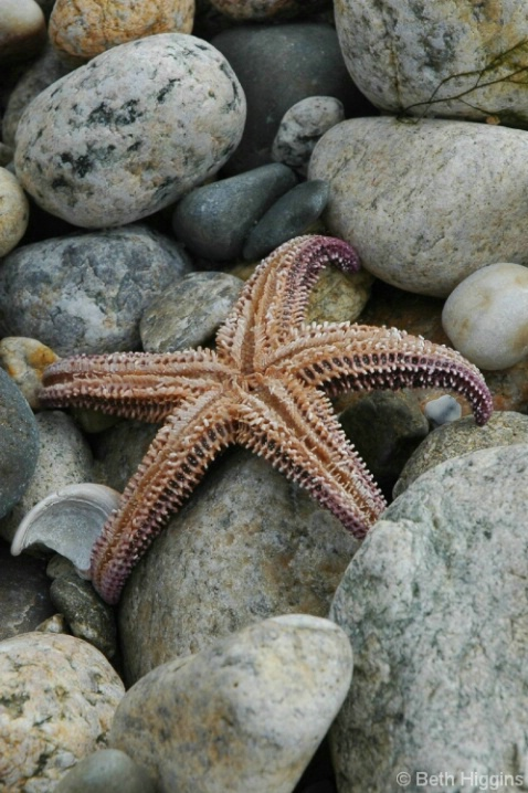 Starfish    MV 209 - ID: 3712710 © Beth E. Higgins