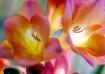 Freesia Blooming