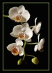 White Orchid 2