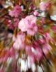 Cherry blossom ex...