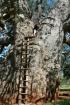 Giant Baobab Pala...