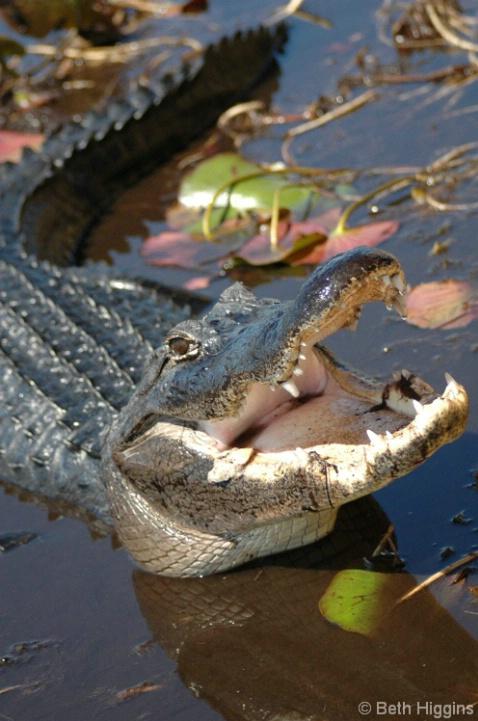 Florida Gator  WL 280 - ID: 3789465 © Beth E. Higgins