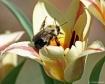 Pollen Busy Bumbl...