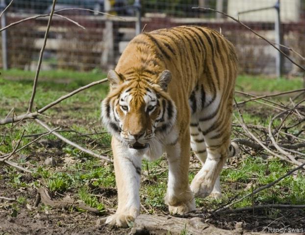 Siberian Tiger - Utica Zoo, Utica NY