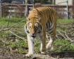 Siberian Tiger - ...