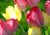 LATE DAY TULIPS