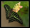 Tailed Jay (Graph...