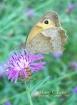 dusky meadow brow...