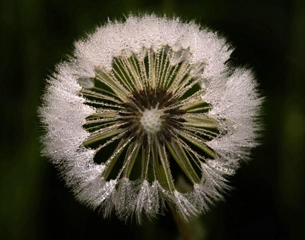 Dandelion Dew #2