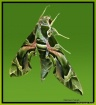 Green Daphnis ner...