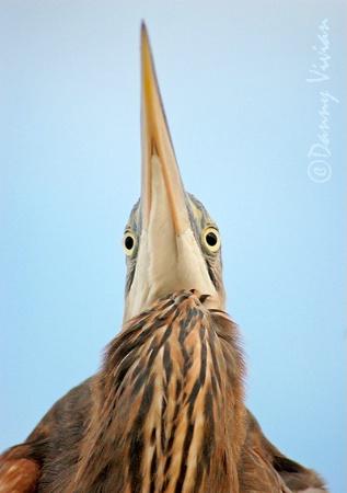 Brown Heron
