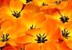 Auric d'fleur