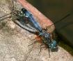 Blue Dashers