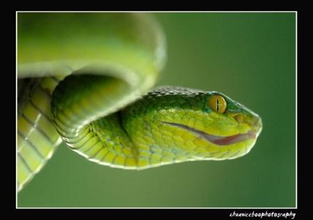 Green Snake #2