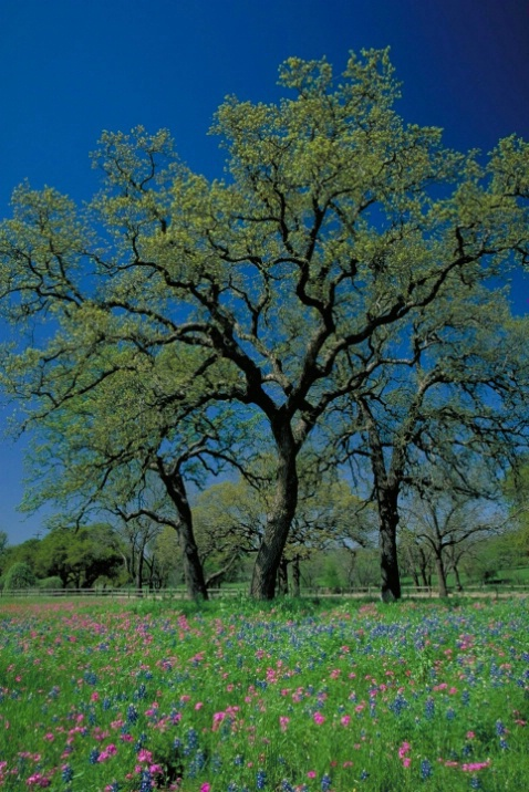 Texas Wildflowers - ID: 4002648 © Leslie McLain