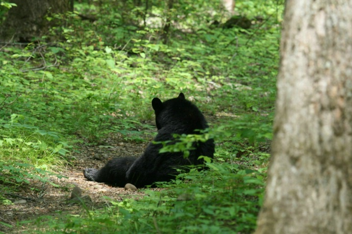BLACK BEAR - ID: 4002811 © Michael S. Couch