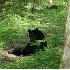 © Michael S. Couch PhotoID# 4002811: BLACK BEAR