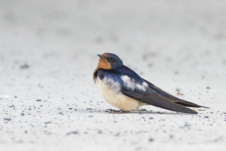 Barn Swallow Studies I