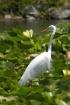 White heron in li...