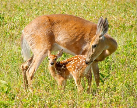fawn and mom
