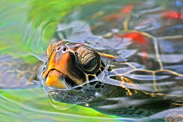 Green Sea Turtle - ID: 4023226 © Janine Russell