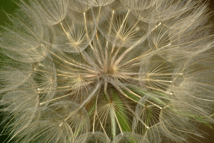 Oyster Plant Seed Head