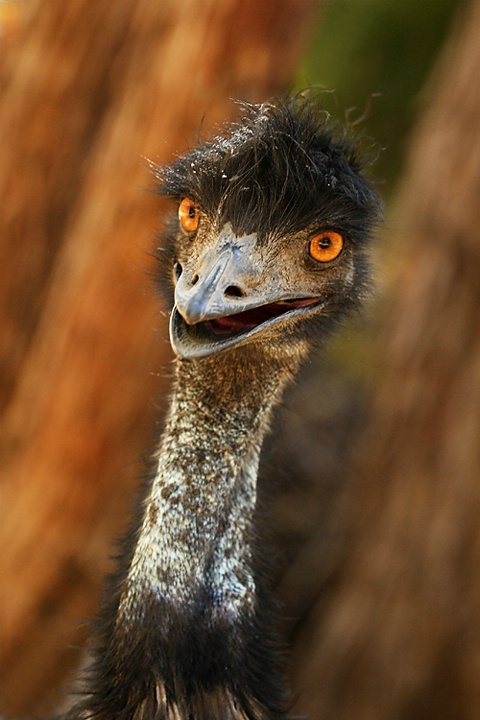 Boo! An Emu.