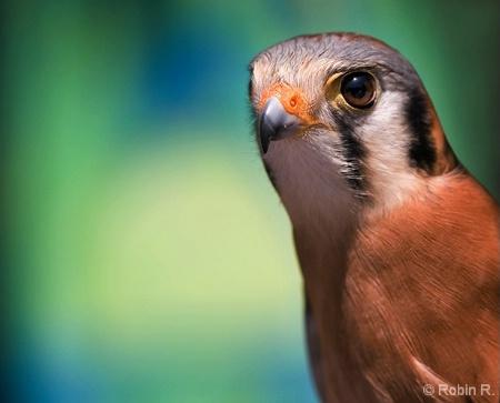 Delicate Falcon