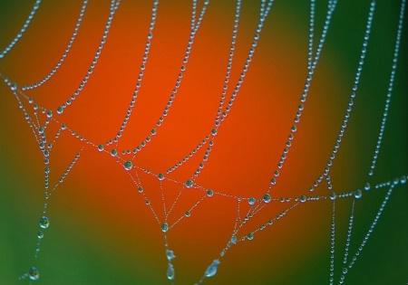 Morning Dew Drops