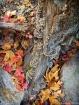 Fall Leaves on Ca...