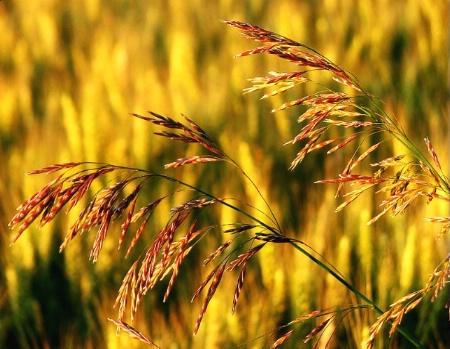 Wisconsin Prairie Grasses