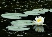 Lily on a Pond
