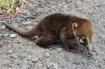 The Baby Coati