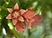 Pomegranate Bloss...