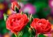 Rose Beauties