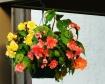 Hanging Begonias