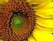Sunflower - The S...